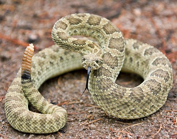 prairie rattle snake ready to strike