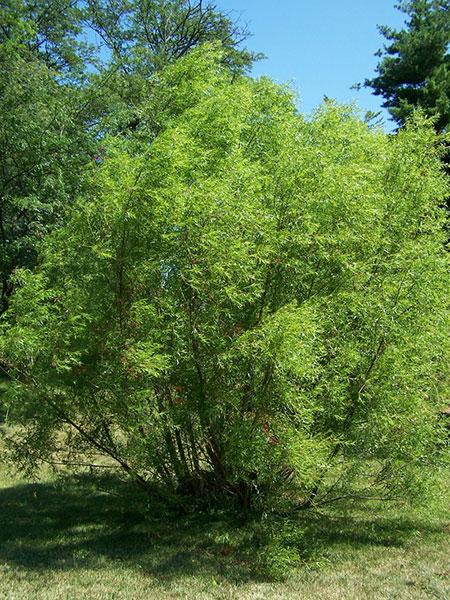 Green Salix Negra tree