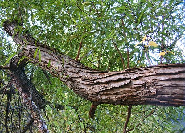 Limb of a Salix Nigra tree