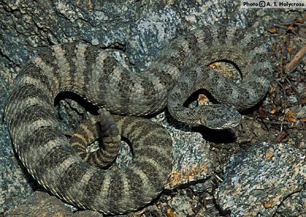 tiger rattle snake curled up between rocks