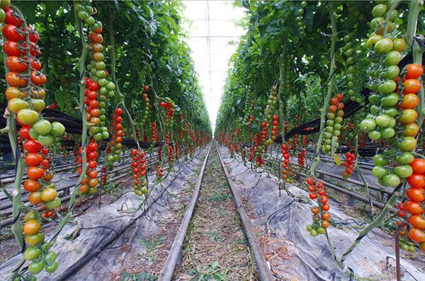 Growing tomato's