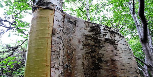 Paper like tree bark for fire starting